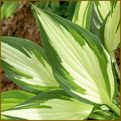 Hosta-Christmas-Candy