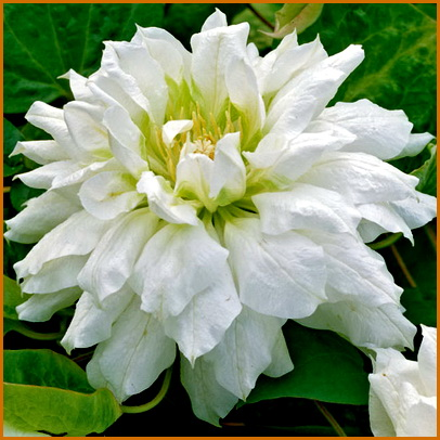 Clematis-Duchess-of-Edinburgh