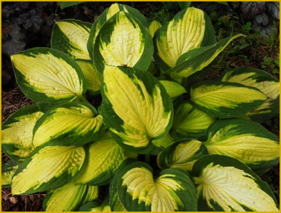 Hosta Georgia_Sweetheart