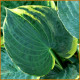 Hosta-Sugar-Daddy