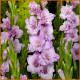 Gladiolus-fringed-Teamwork