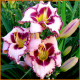 Hemerocallis-Purple-Flame