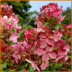 Hydrangea-paniculata-Early-Sensation