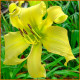 Hemerocallis-Lemon-Madeline