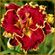Hemerocallis-Naughty-Red