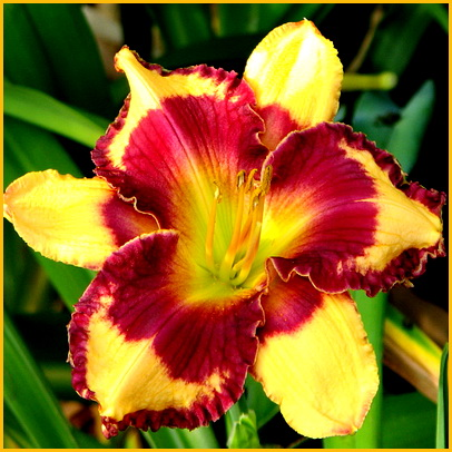 Hemerocallis-Tropical-Suprise