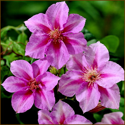 Clematis-Sealand-Gem