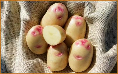 Лучшие для хранения сорта картофеля: посадка и уход