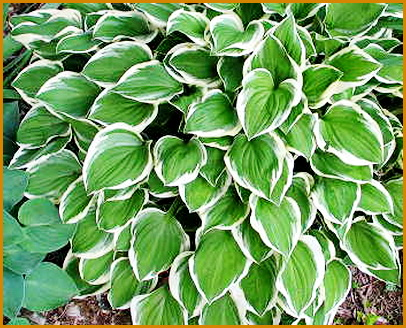 Hosta-Diamond-Tiara