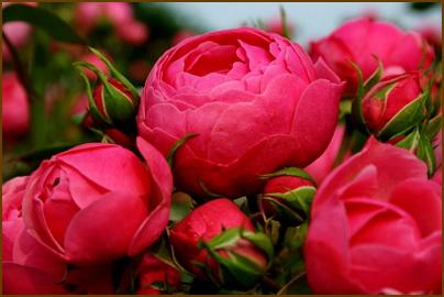 Почему плохо цветут розы