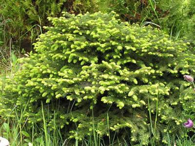 Ель обыкновенная 'Нидиформис' Picea abies 'Nidiformis'