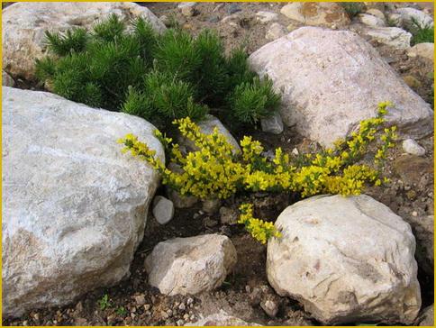 Ракитник стелющийся, описание, фото, виды и сорта, условия выращивания. применение